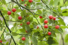 Red huckleberries. Ripe red huckleberries on Vaccinium parvifolium bush natural environment Royalty Free Stock Image