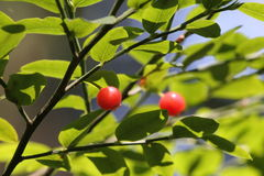 Red Huckleberries - Vaccinium Parvifolium. Pacific Northwest wild berries - Red Huckleberries (Vaccinium parvifolium Royalty Free Stock Photography