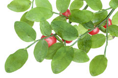 Red huckleberry royalty free stock photo