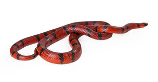 Red Hungarian Milk Snake Royalty Free Stock Images