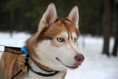Red husky Stock Image
