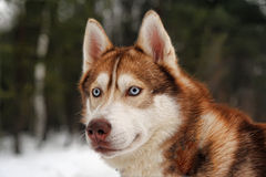 Red husky Royalty Free Stock Photography
