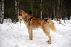 Red husky Stock Photography