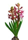 Red hyacinth Royalty Free Stock Image