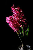 Red hyacinth flower material Royalty Free Stock Image