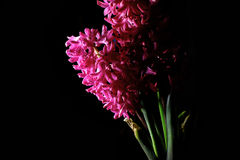 Red hyacinth flower material Stock Photography