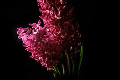 Red hyacinth flower material Stock Images