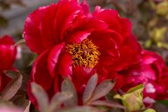 Red hybrid Itoh Peony blooming in spring garden stock photos