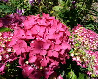 Red Hydrangea Stock Images