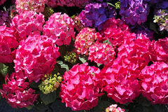 Red Hydrangea closeup Royalty Free Stock Photography