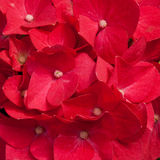 Red hydrangea flowers Royalty Free Stock Images