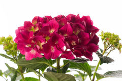 Red hydrangea Royalty Free Stock Photography