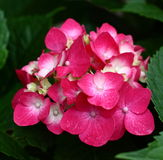 Red hydrangea. The red hydrangea with leaves Royalty Free Stock Photo