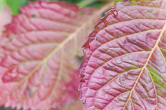 Red hydrangea leaves Stock Images