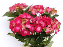 Red hydrangea Royalty Free Stock Photos