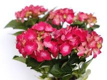 Red hydrangea Royalty Free Stock Photos