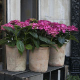 Red hydrangea in a pot Stock Photo