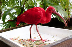 Red ibis Royalty Free Stock Photos