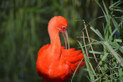 Red ibis Stock Photography