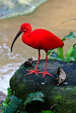 Red ibis bird near the water. On a rock Stock Photography