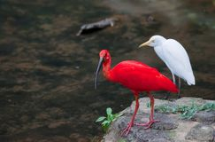 Red ibis and cattle egret birds Stock Photo