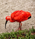 Red Ibis (Eudocimus Ruber). On sand Stock Images
