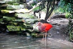 Red ibis Stock Photos