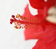 Red Ibiscus. Close-up photography to the pistils of red hibiscus Royalty Free Stock Photos