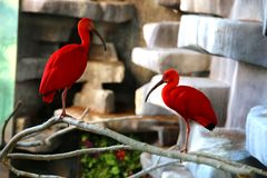 Red ibises Stock Images