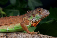 Red iguana. The red iguana is a colorform of the green Iguana or Common Iguana (Iguana iguana) is a large, arboreal herbivorous species of lizard of the genus royalty free stock image