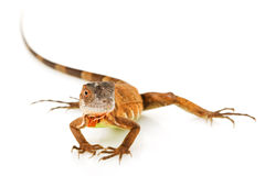 Red Iguana Stock Images