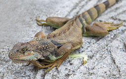 Red Iguana basking in the sun. Large red Iguana basking in the sun Stock Photography