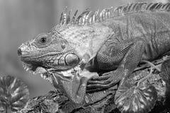 Red iguana Royalty Free Stock Photos