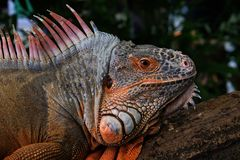 Red iguana head with beautiful skin holding on the timber royalty free stock image