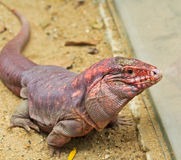 Red Iguana Royalty Free Stock Photos