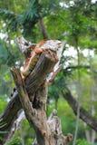 Red Iguana Royalty Free Stock Image