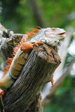 Red Iguana Stock Photography
