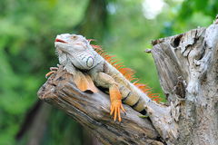 Red Iguana. Iguanas are native to the jungles of central and south America, and the Caribbean. The iguana is a large docile species of lizard, meaning that stock image