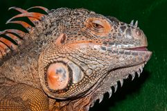 Red iguana Royalty Free Stock Image
