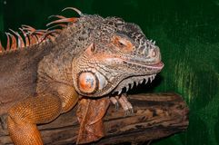 Red iguana Stock Photo