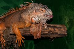 Red iguana Stock Photography