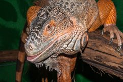 Red iguana Stock Images