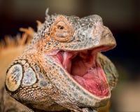 Red iguana Stock Photo