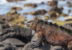 Red iguana on the rock, Galapagos Islands, Ecuador. stock images