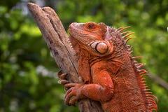 Red iguana sunbathing. A red iguana is enjoying the sun on a log royalty free stock photo