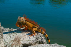 Red Iguana. Super Red Iguana sunning itself on a rock at the water`s edge royalty free stock photo