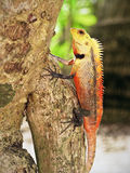 Red iguana on a tree. A big red lizard with black arts on a tree in maldivian forest Royalty Free Stock Photo