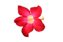 Red impala lily flower Stock Photos