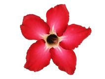 Red Impala Lily flower (Desert Rose) Royalty Free Stock Photos