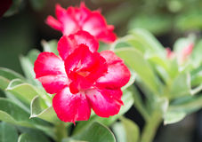Red Impala Lily flower Stock Photography